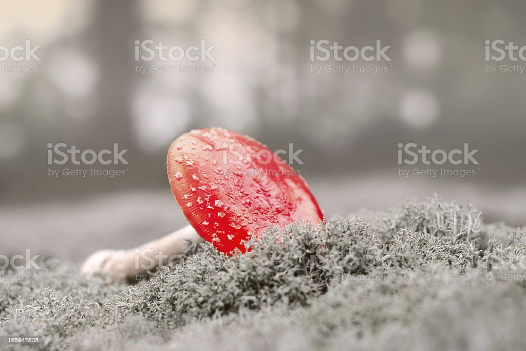 Amanita in the misty forest stock photo