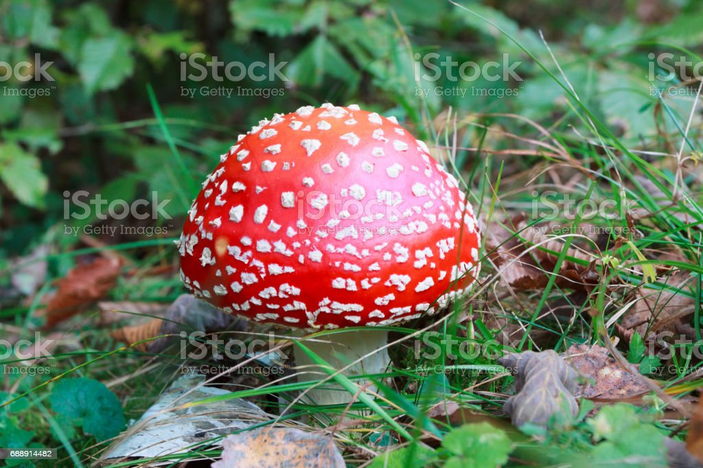 Amanita muscaria, a poisonous mushroom in a forest stock photo