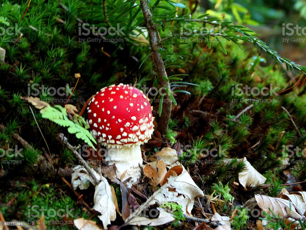 Amanita muscaria, a poisonous mushroom in forest stock photo