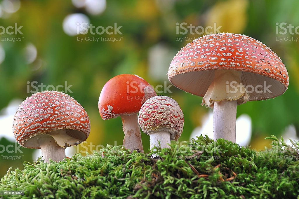 Amanita muscaria family stock photo