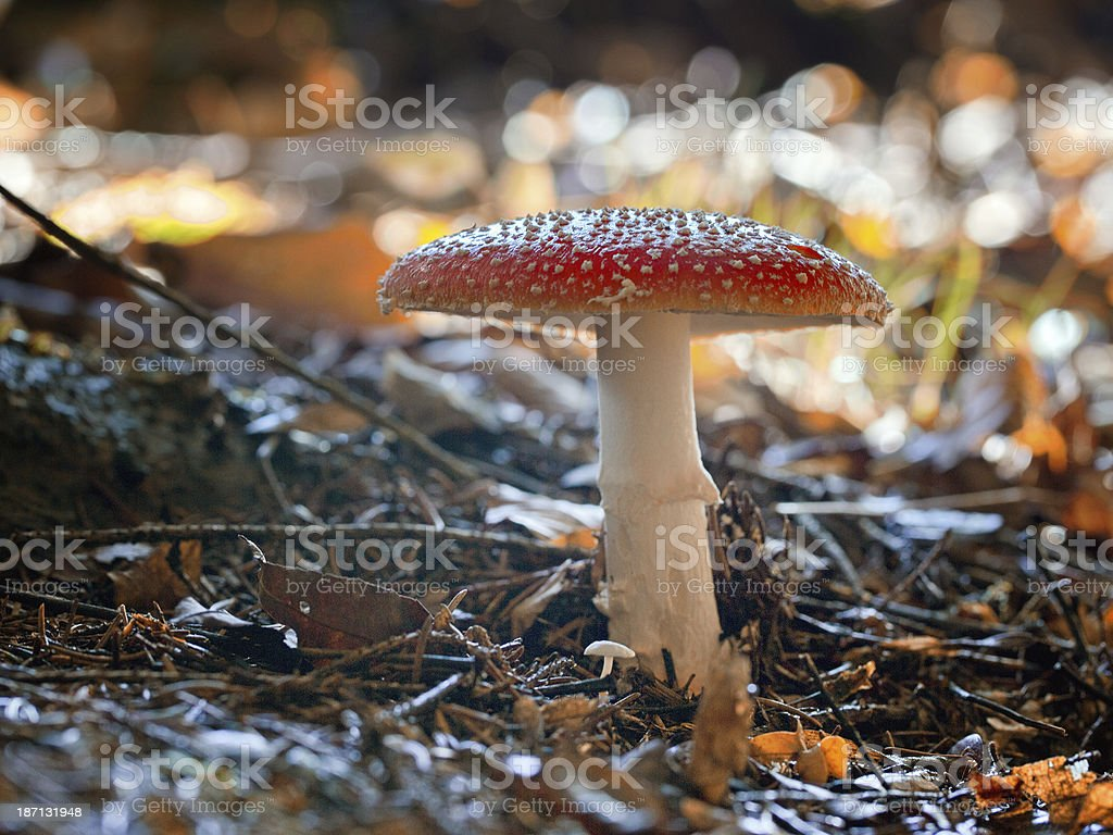 Amanita muscaria - Fly Agaric stock photo