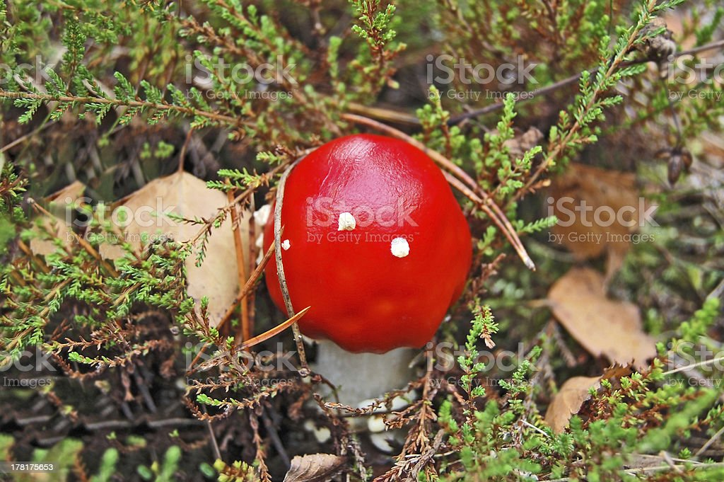 Amanita muscaria in forest royalty-free stock photo