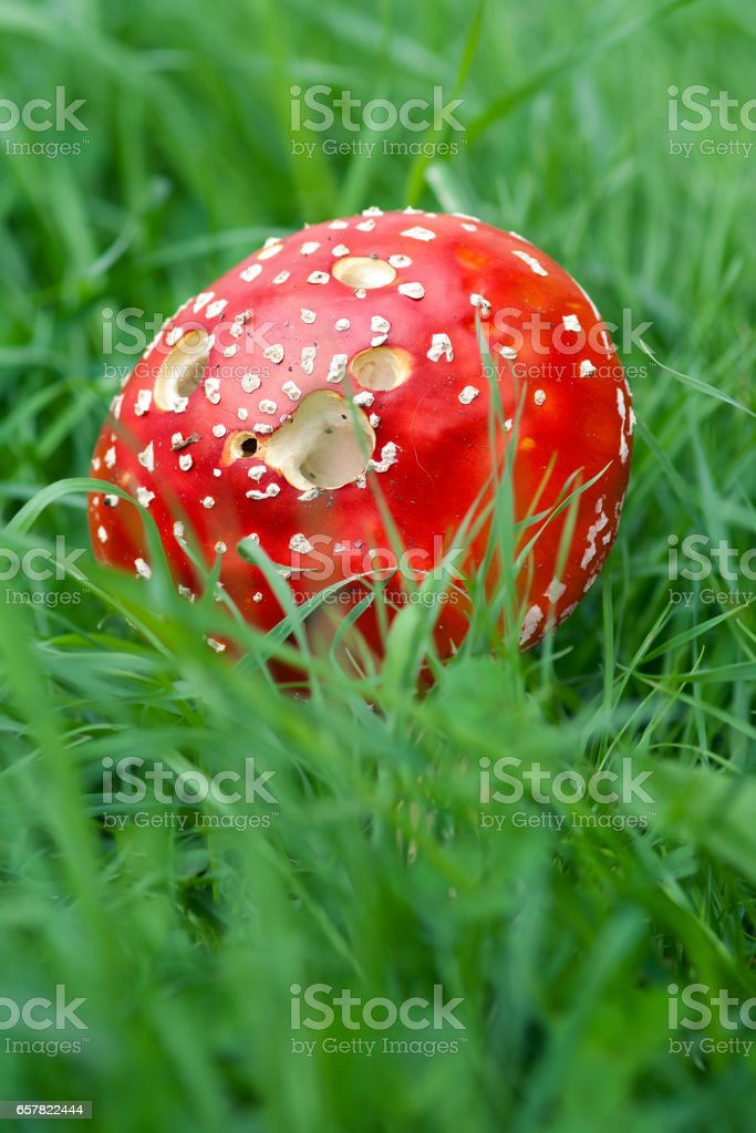 Amanita Muscaria in green grass stock photo