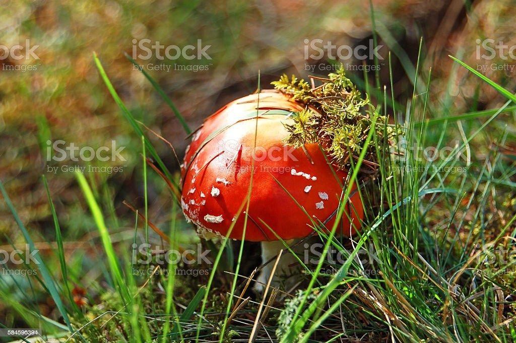 Amanita muscaria mushrom stock photo