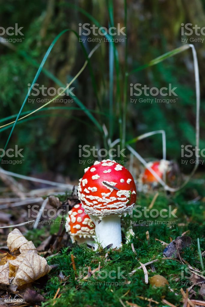 Amanita muscaria mushrooms in a forest stock photo