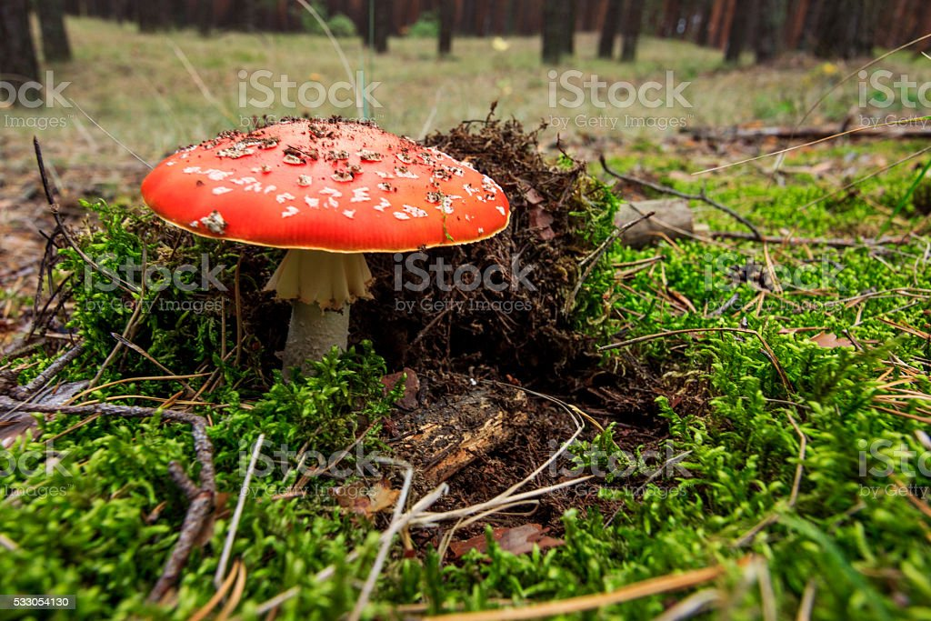 Amanita Muscaria or Fly Agaric stock photo