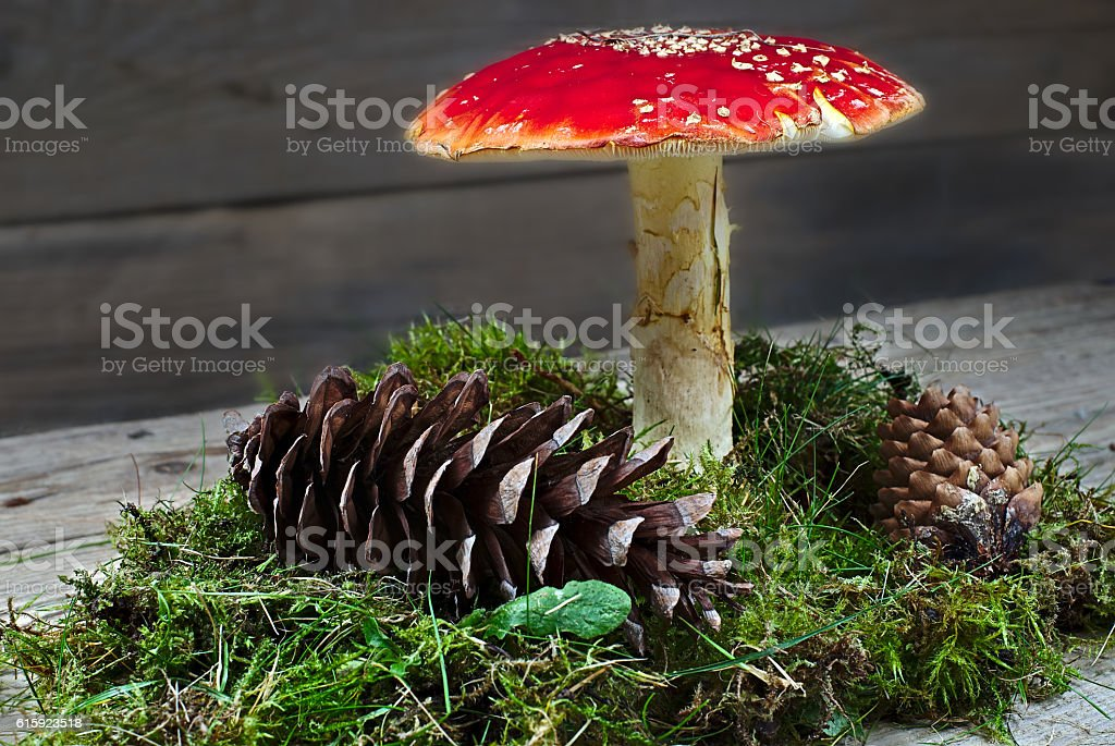 Amanita muscaria with pinecones and moss stock photo