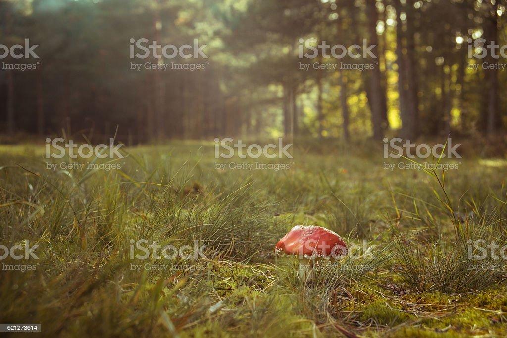 Amanita mushroom in deep grass stock photo