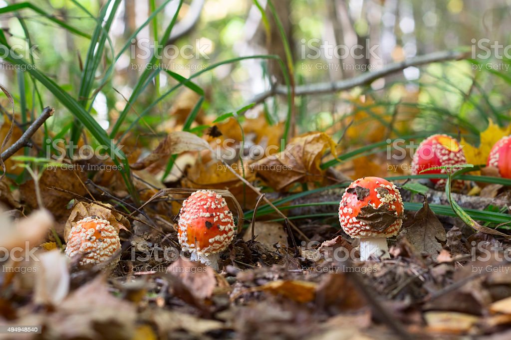 Amanita mushroom in the forest stock photo