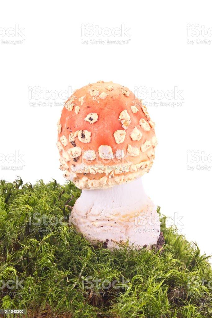 Amanita on a hummock stock photo