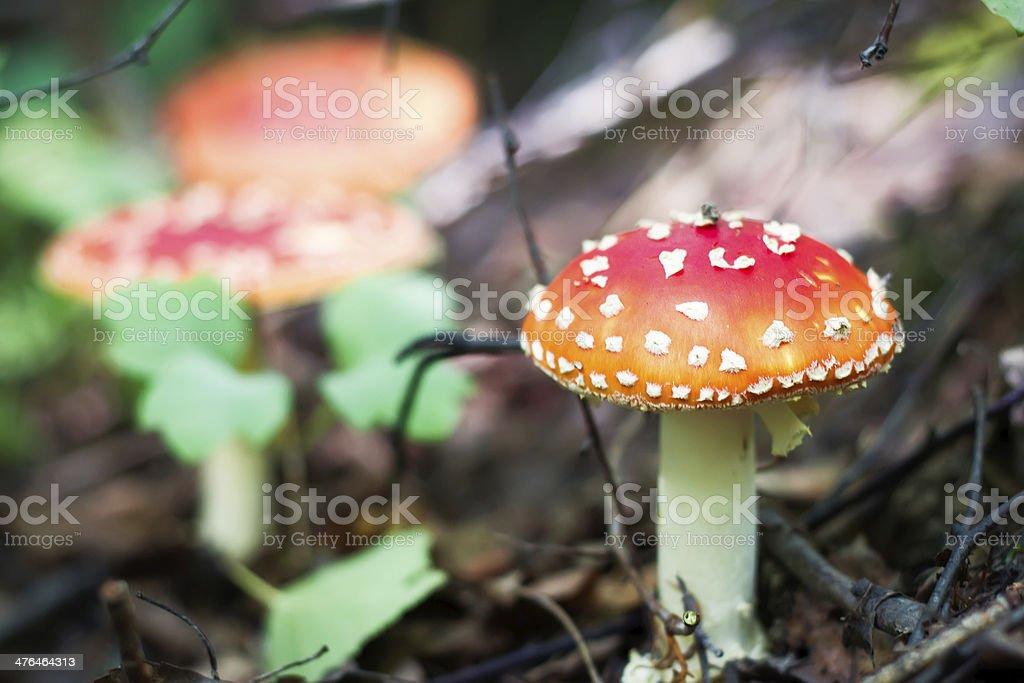 amanita or fly agaric royalty-free stock photo