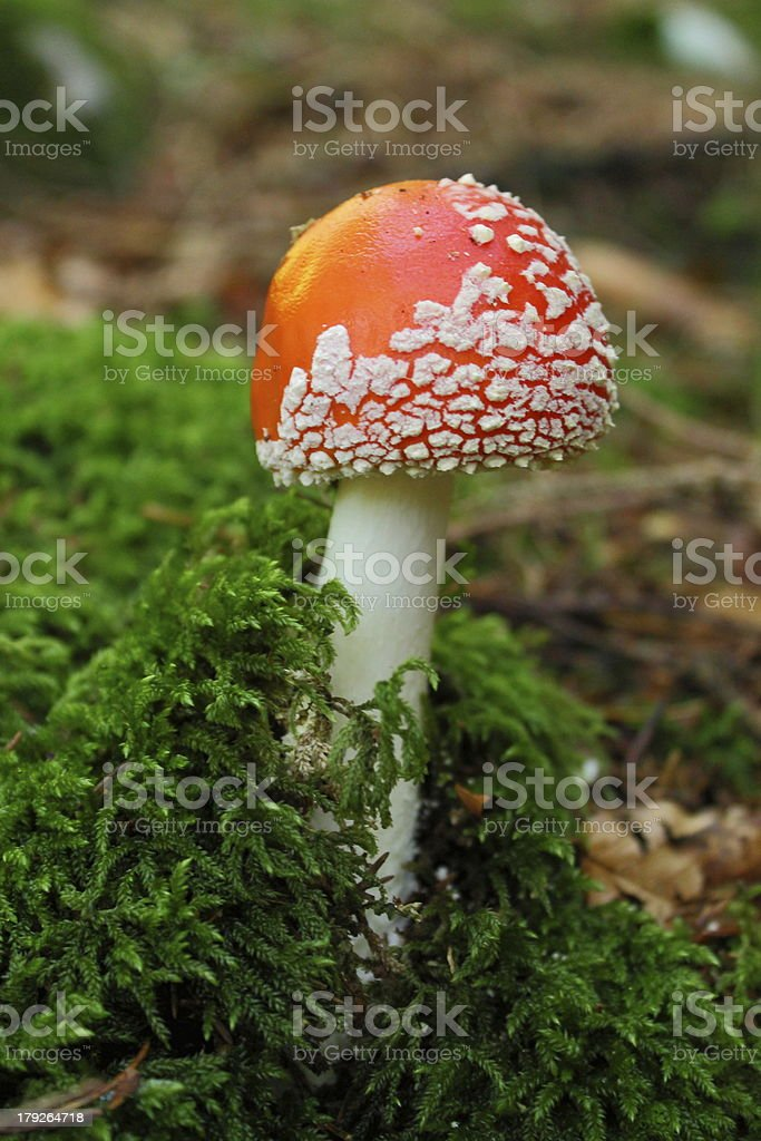 amanita royalty-free stock photo