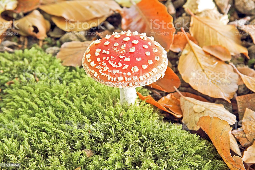 Amanita poisonous mushroom in nature royalty-free stock photo