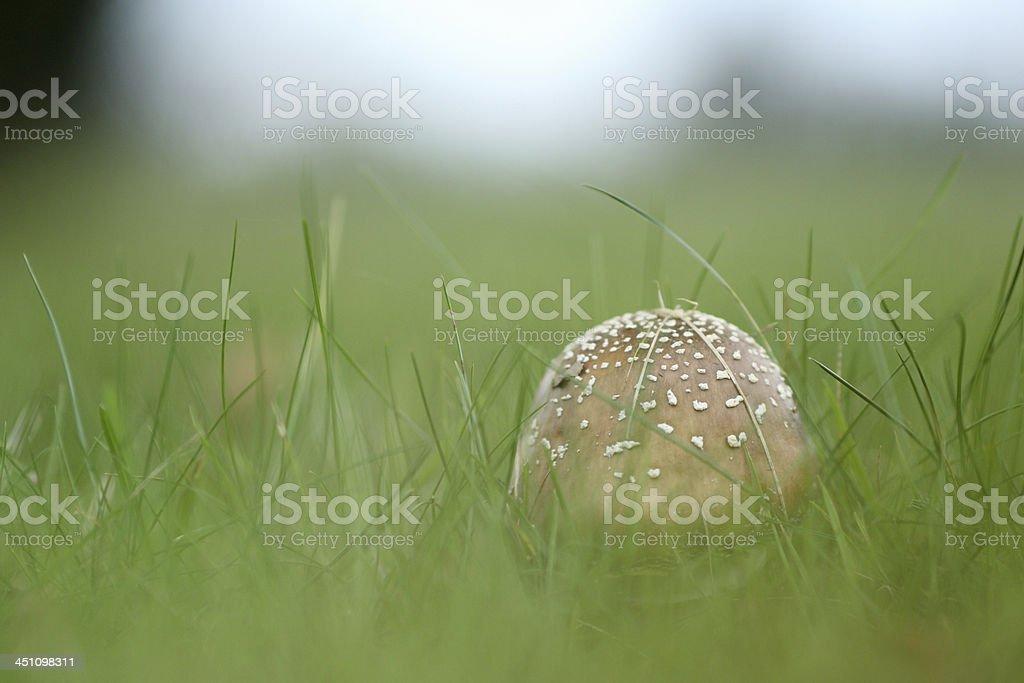 Amanita rubescens stock photo