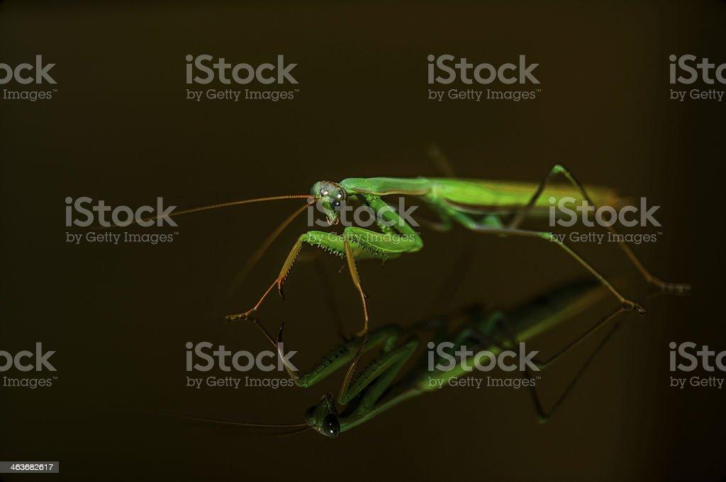 Amantide religiosa (Mantis Religiosa) royalty-free stock photo