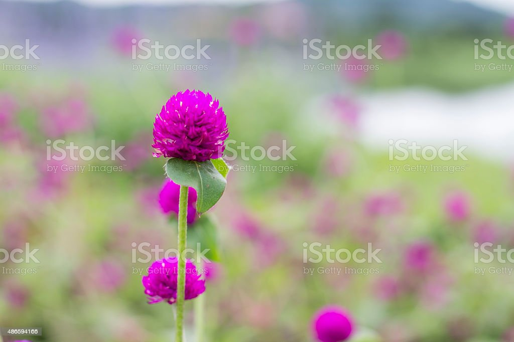 Amaranthrot verwischen Hintergrund mit schönen Blumen Lizenzfreies stock-foto