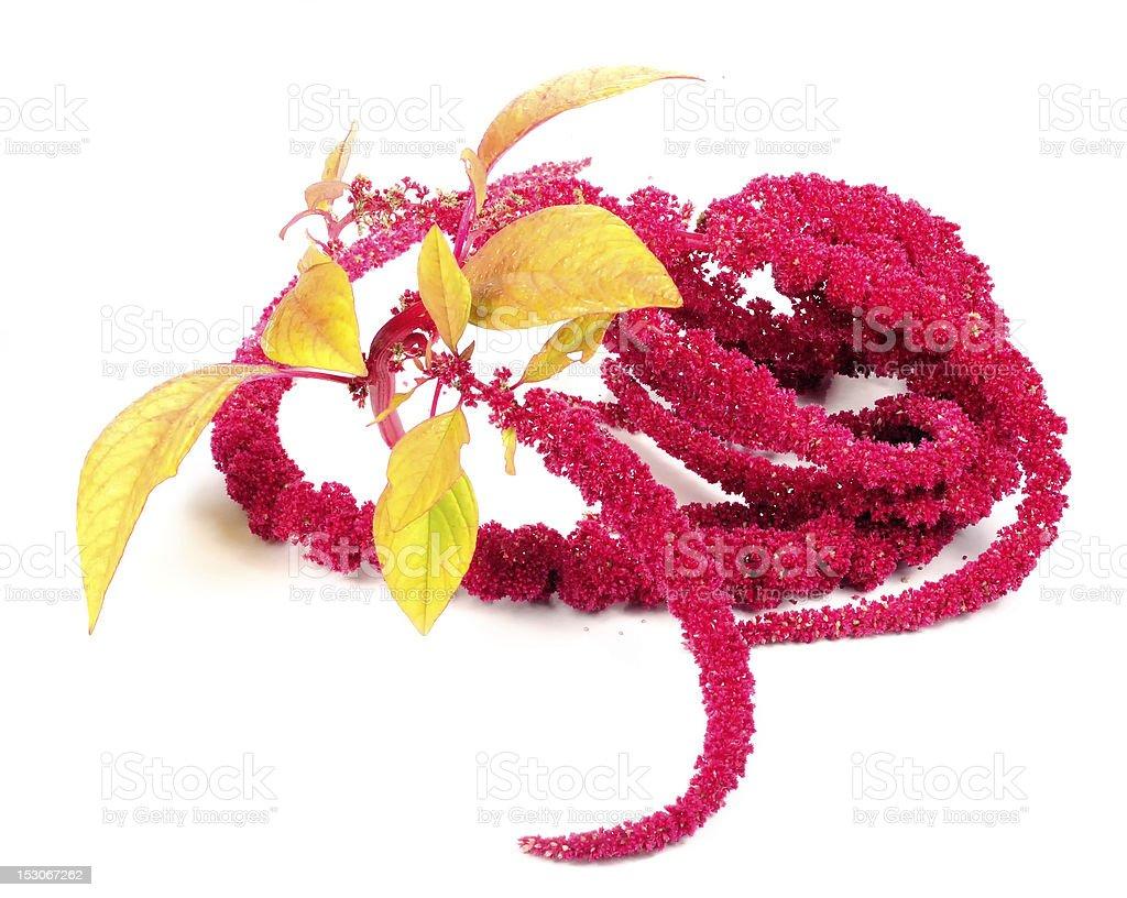 Amaranth (Love-Lies-Bleeding) Flowers stock photo