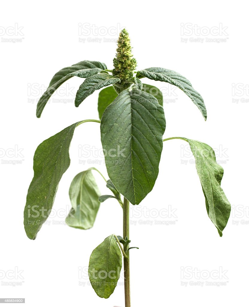 amaranth stock photo
