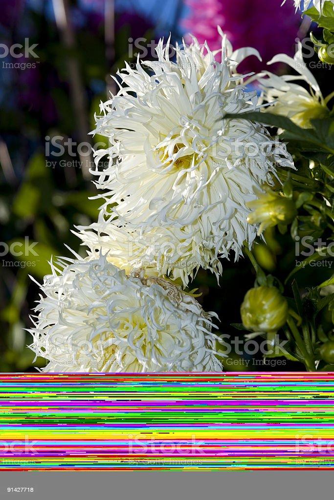 Amaranth (Amaranthus hypochondriacus) stock photo