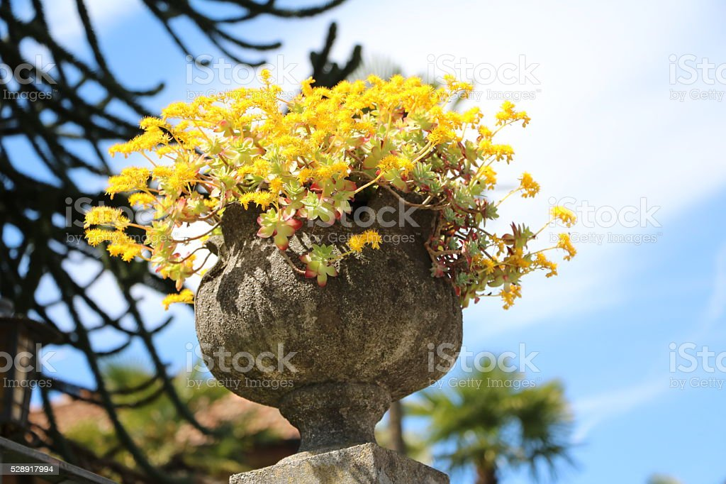 Amaranth with yellow blooms in stone flower pot stock photo