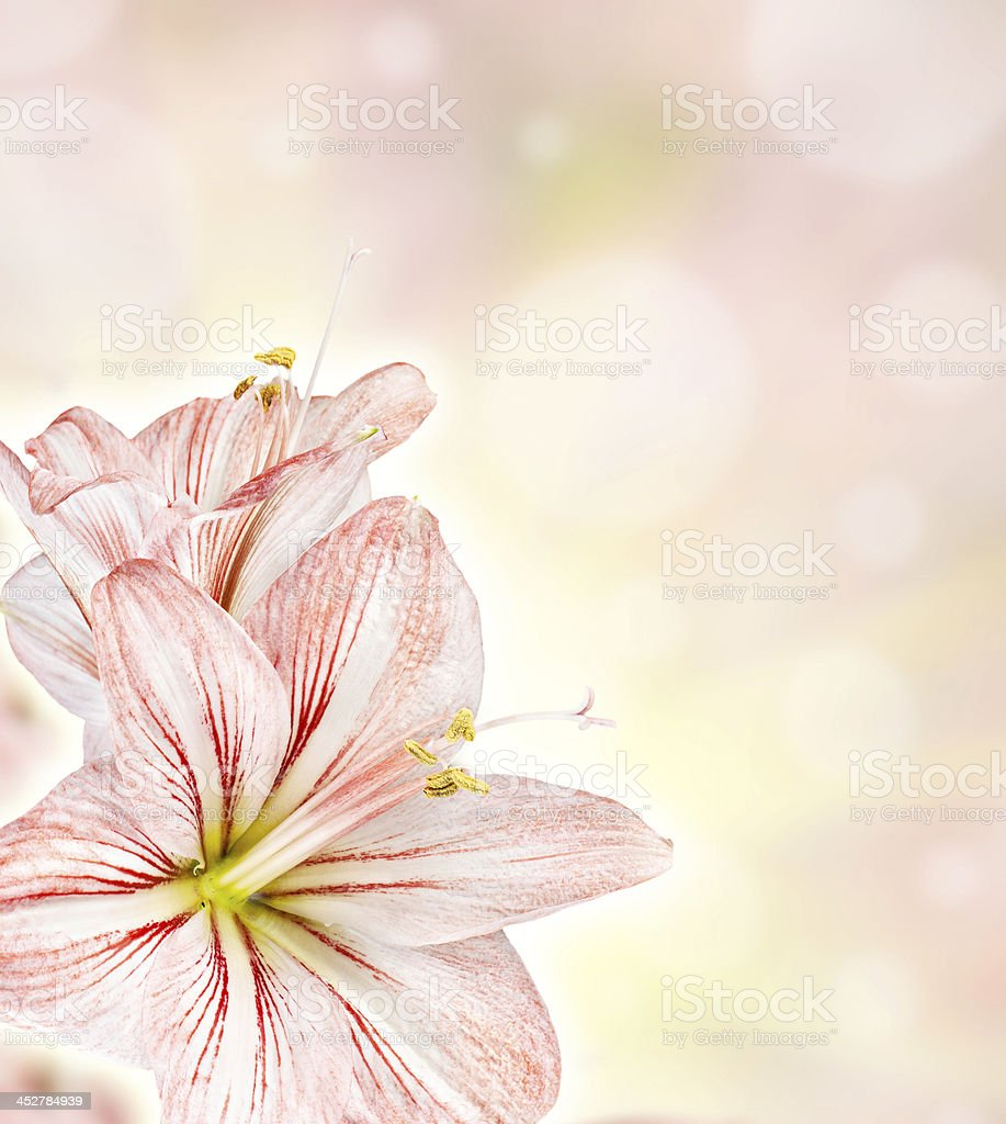 Amaryllis abstract floiral background royalty-free stock photo