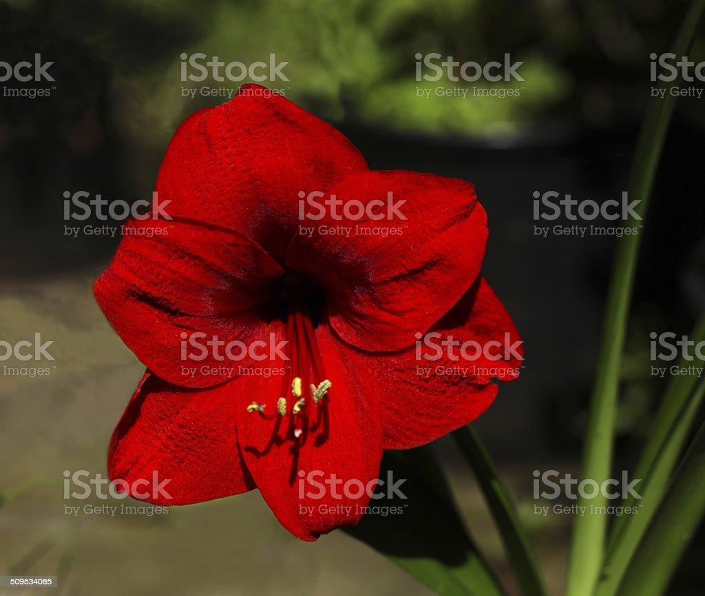 Amaryllis fiore foto stock royalty-free