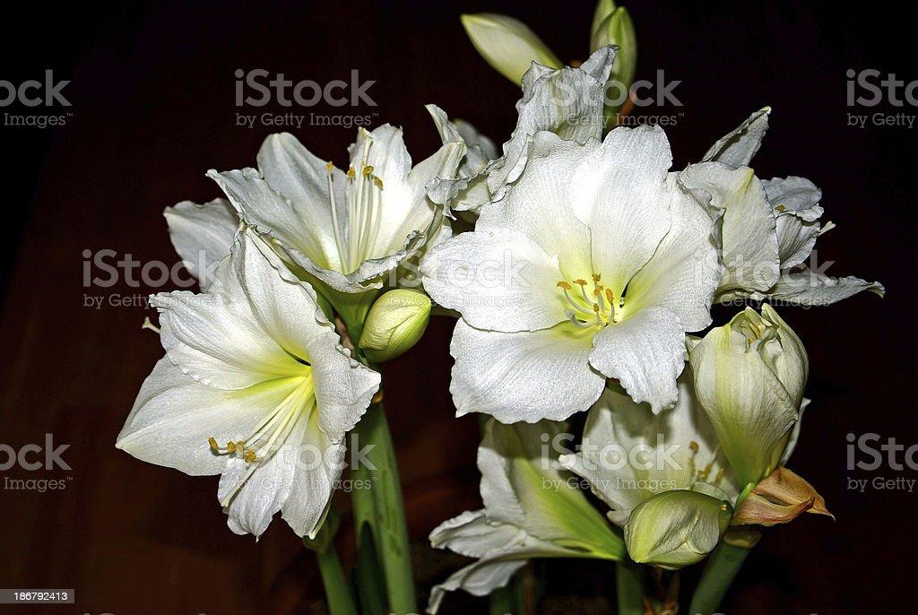 Amaryllis flowers royalty-free stock photo