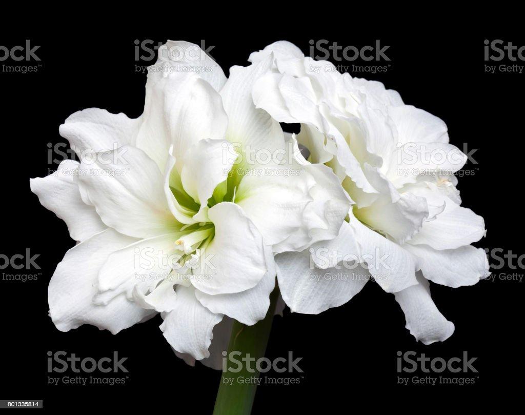 Amaryllis Hippeastrum Alfresco stock photo