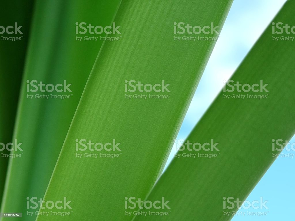 Amaryllis Leaves royalty-free stock photo