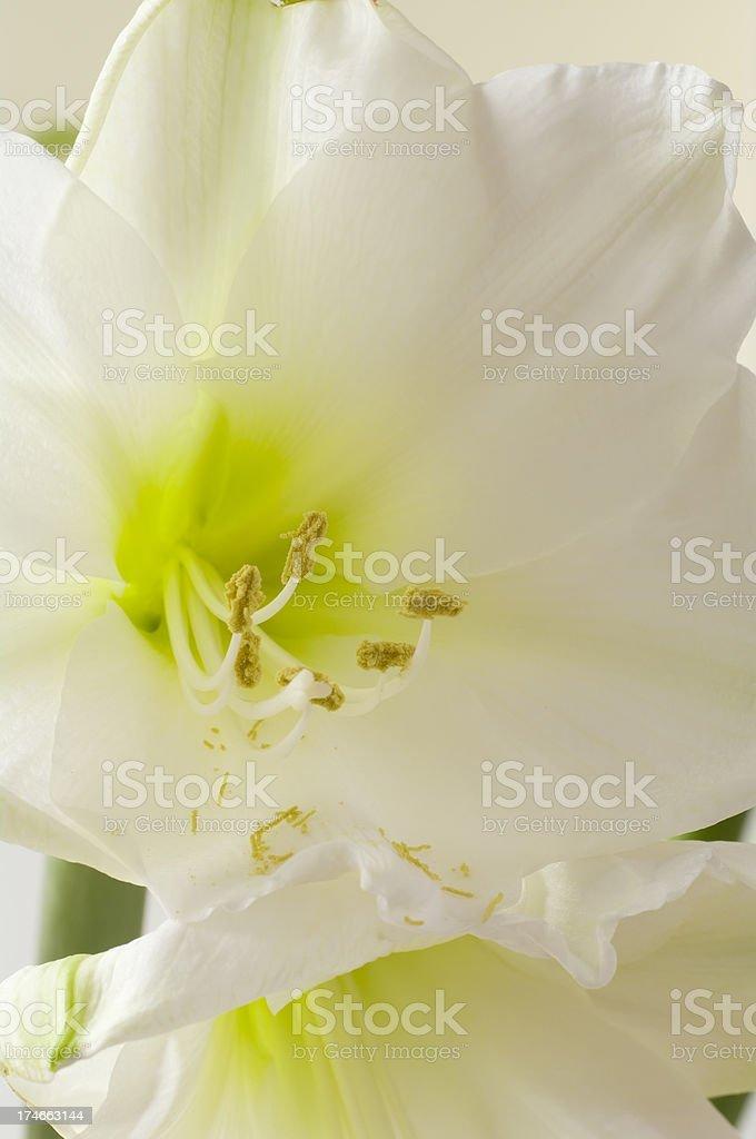 Amaryllis (Hippeastrum)  White stock photo