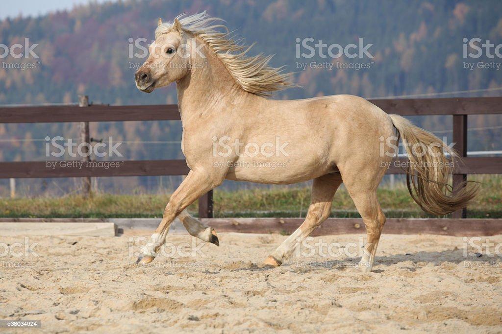 Amazaing palomino welsh pony of cob type running stock photo