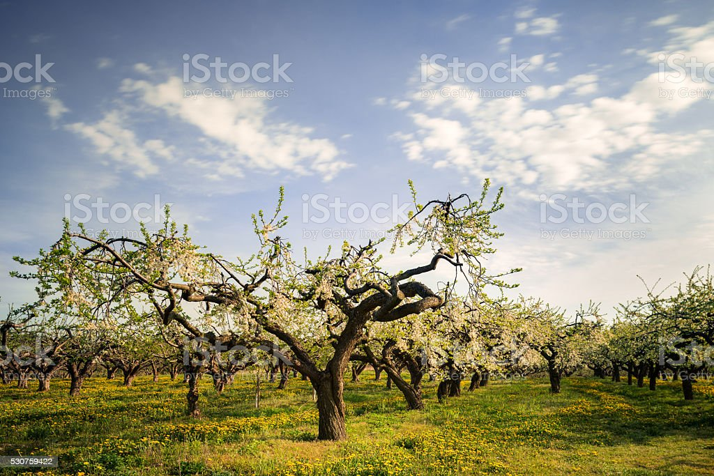 Amazing apple trees in rows at Kiviks cider factory (XXXLarge) stock photo