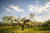 Amazing apple trees in rows at Kiviks cider factory (XXXLarge)