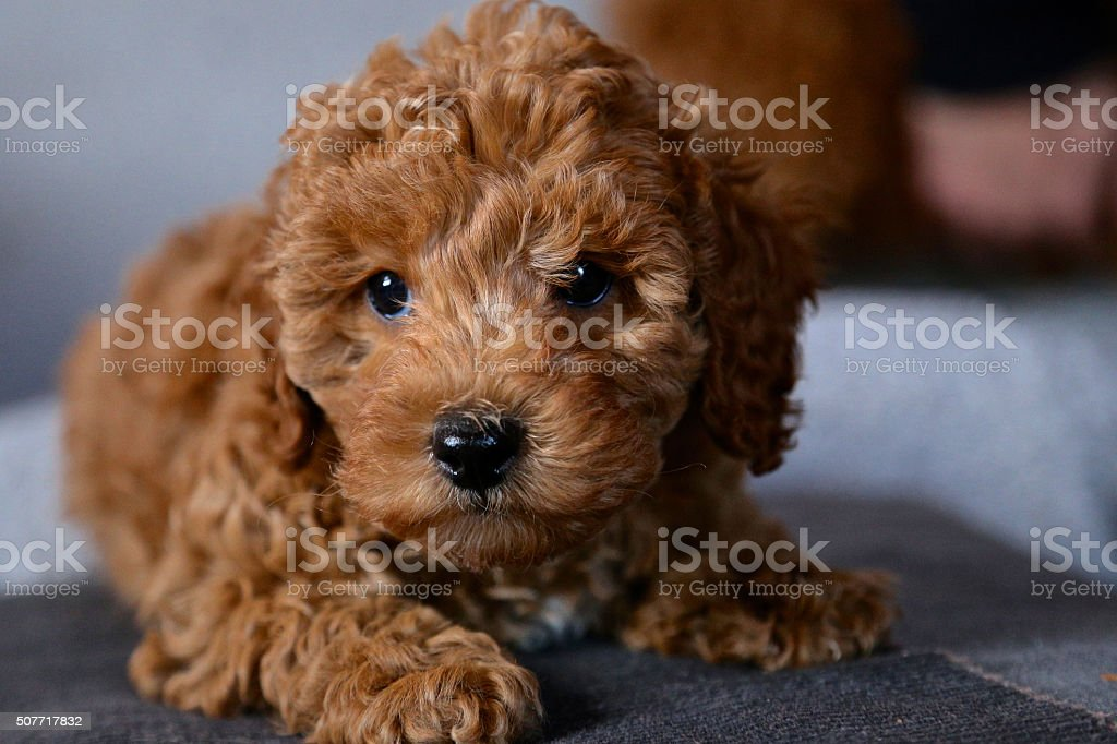 Amazing baby dog poodle portrait stock photo