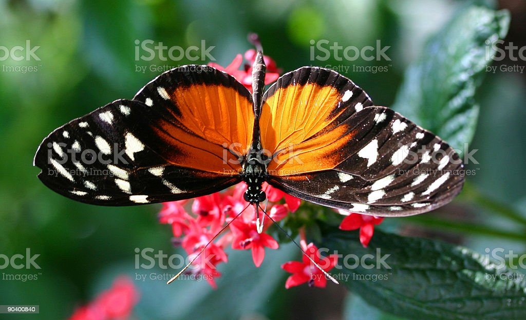 Amazing Butterfly royalty-free stock photo