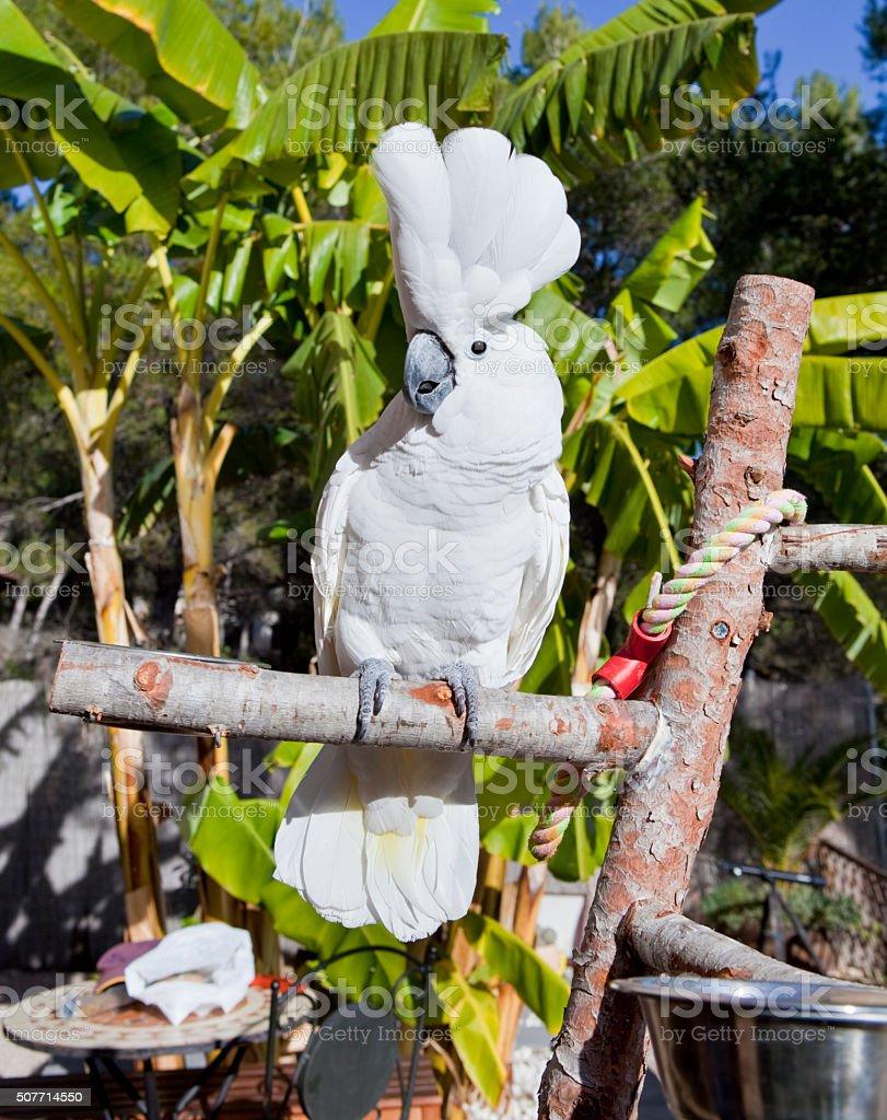 Amazing Cockatoo in tropics stock photo