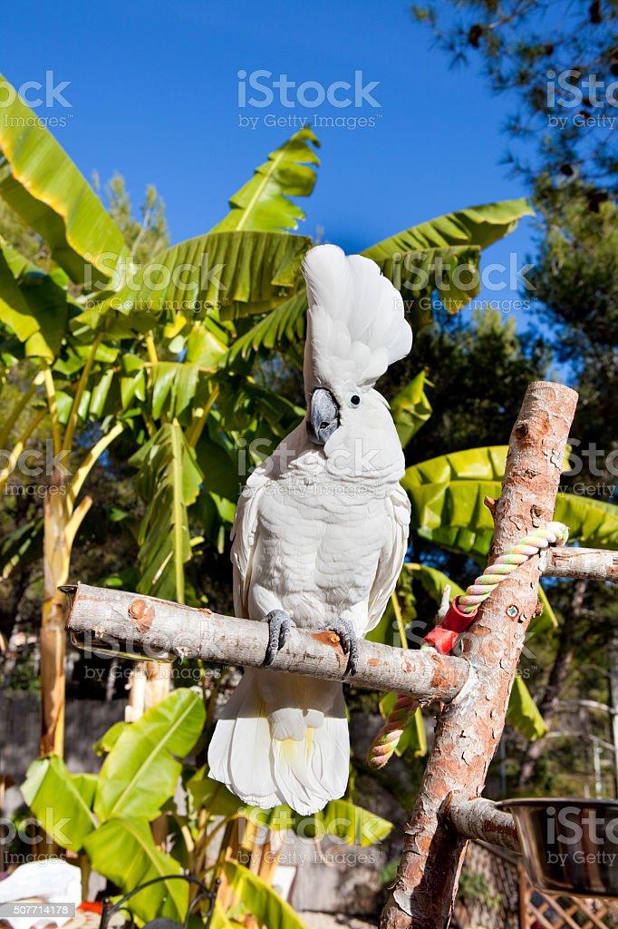 Amazing Cockatoo stock photo