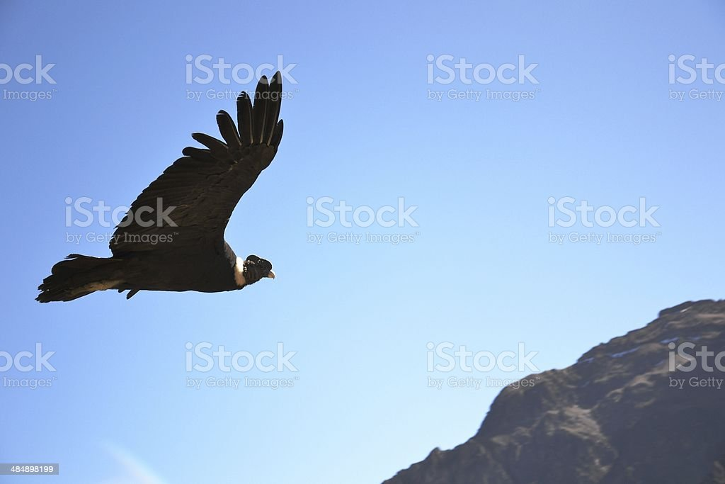 Amazing Condor on the air stock photo