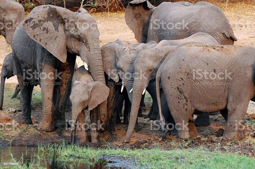 Amazing Elephant Family on a waterhole in Botswana stock photo
