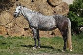 Amazing grey horse with bridle