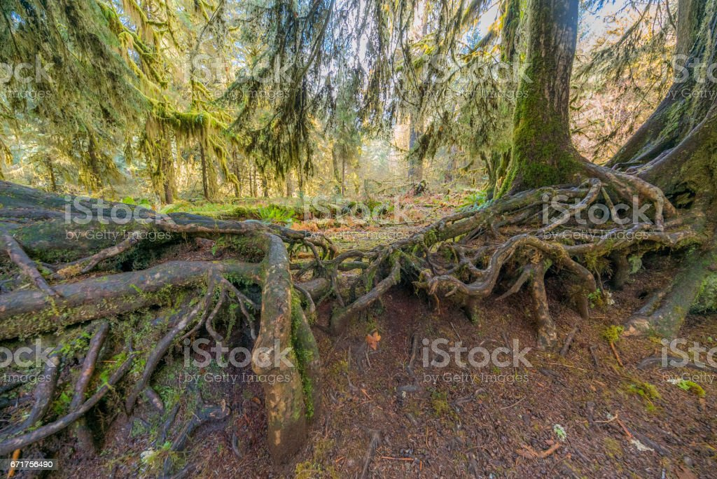 Amazing interlacing of the roots of large trees. Hoh Rain Forest is one of the largest temperate rainforests in the USA. stock photo