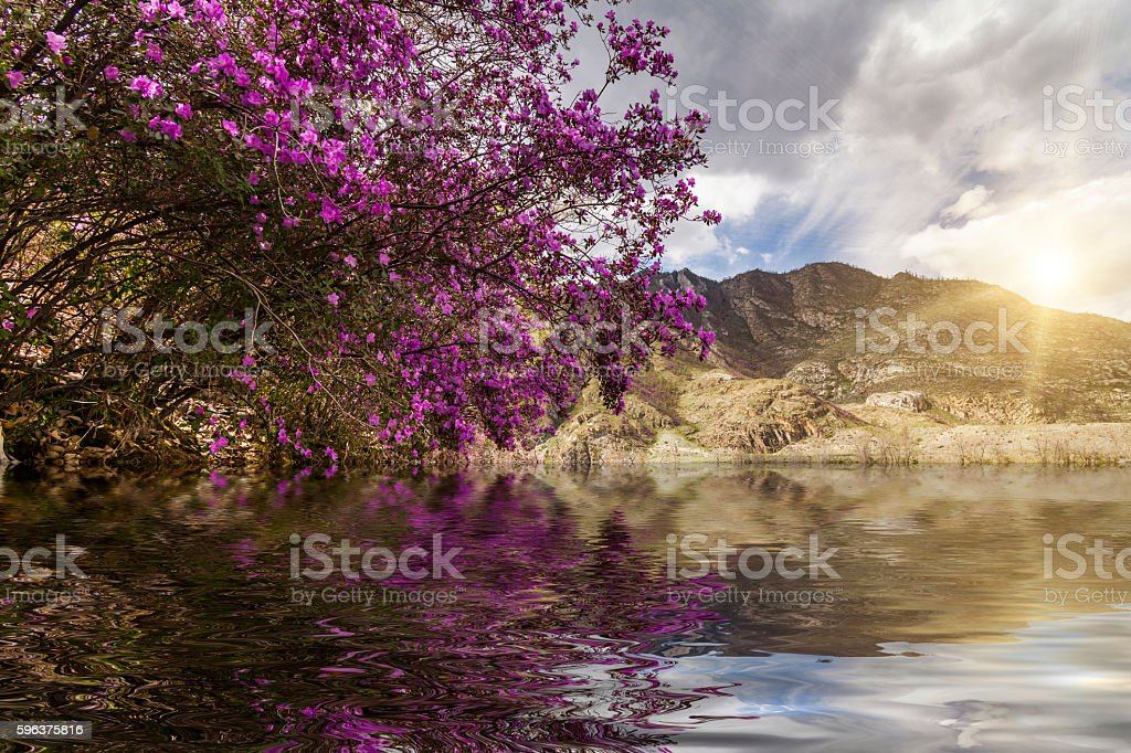 Amazing landscape with mountains, river and blooming rhododendro stock photo