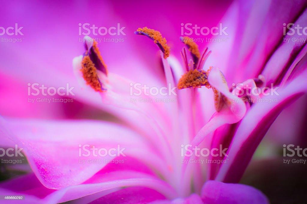 Amazing macro close-up of vivid purple Japanise lily flower stock photo