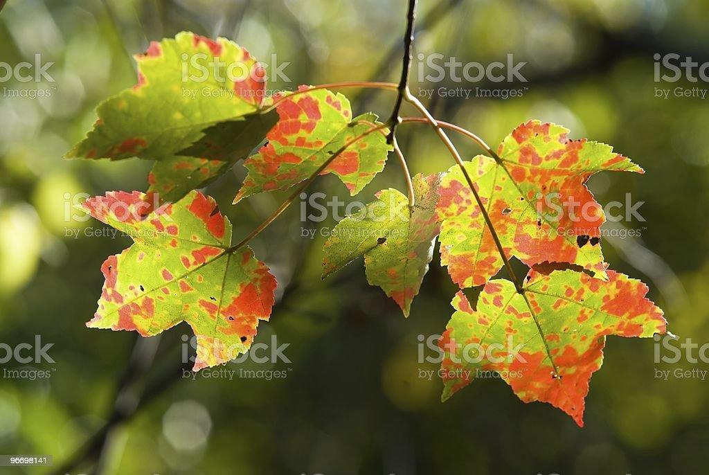Amazing maple leaves royalty-free stock photo