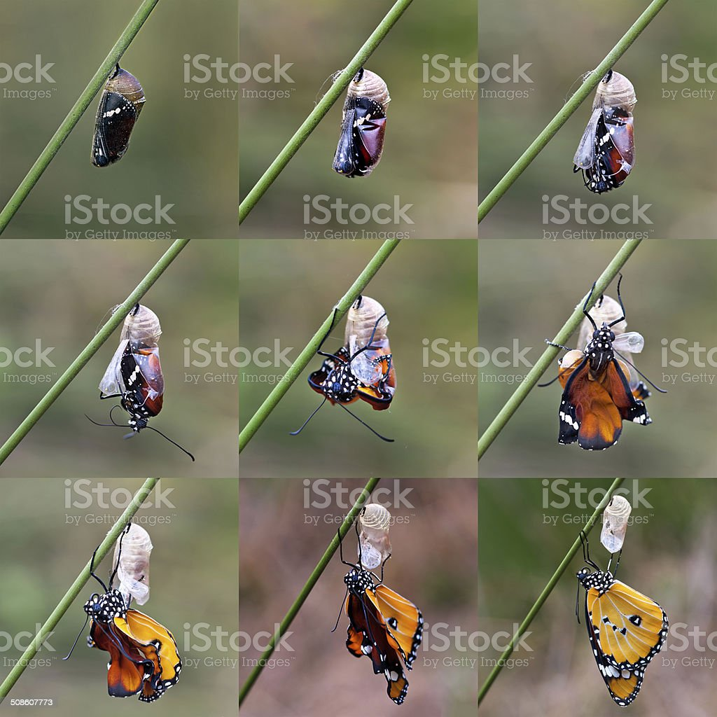 amazing moment about butterfly change form chrysalis stock photo