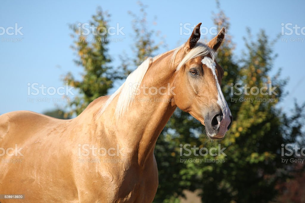 Amazing palomino horse with blond hair stock photo
