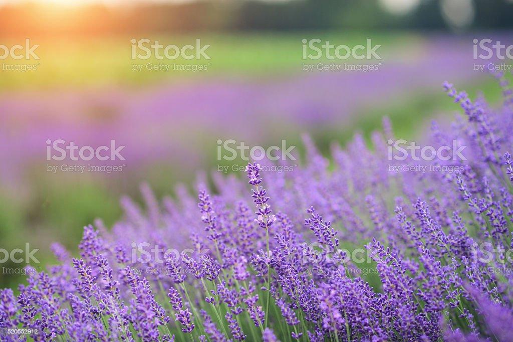 Amazing purple field stock photo