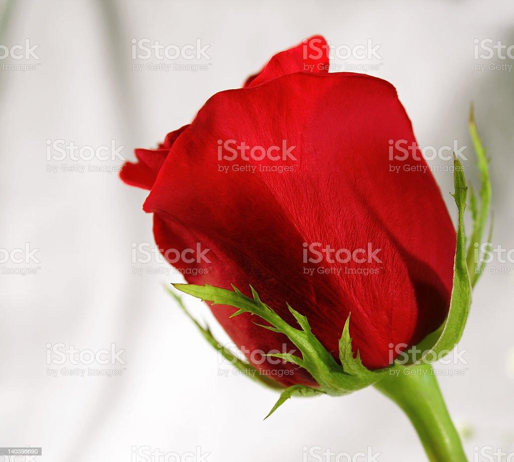 Niesamowite Rose zbiór zdjęć royalty-free