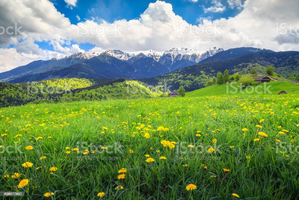 Amazing spring landscape with field of yellow dandelion flowers stock photo