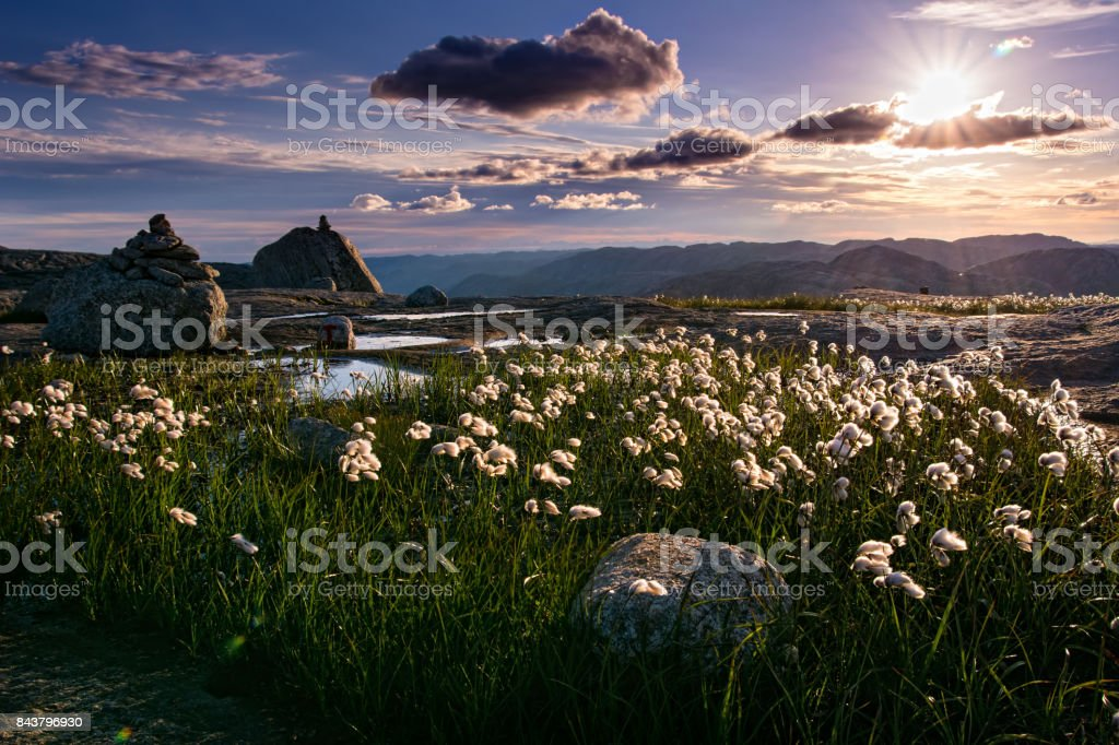 Amazing view of northern nature with beautiful bloom cottongrass on the way to Kjeragbolten. Norway, Europe. Artistic picture. Beauty world. stock photo